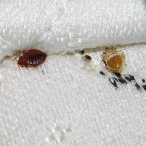 Bed Bug Control Services
