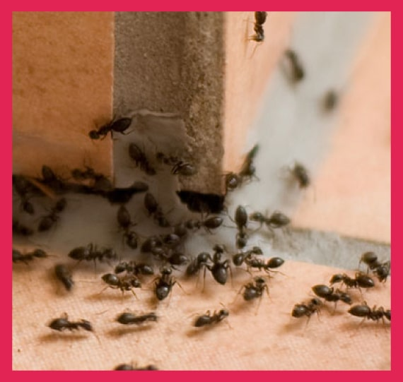 expert ants control pakenham