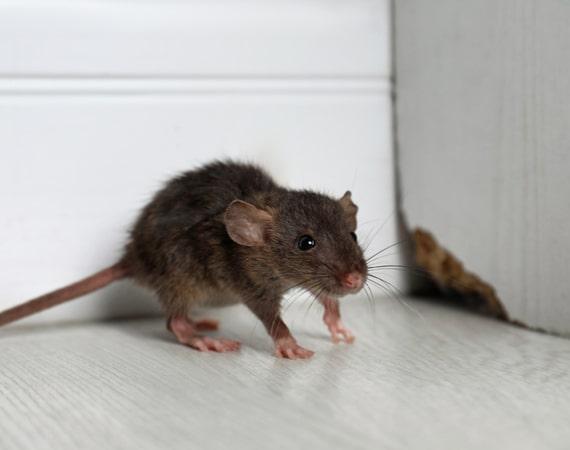 rodent control pakenham
