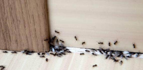 same day ants control pakenham